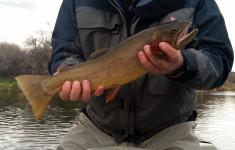 bighorn_river1